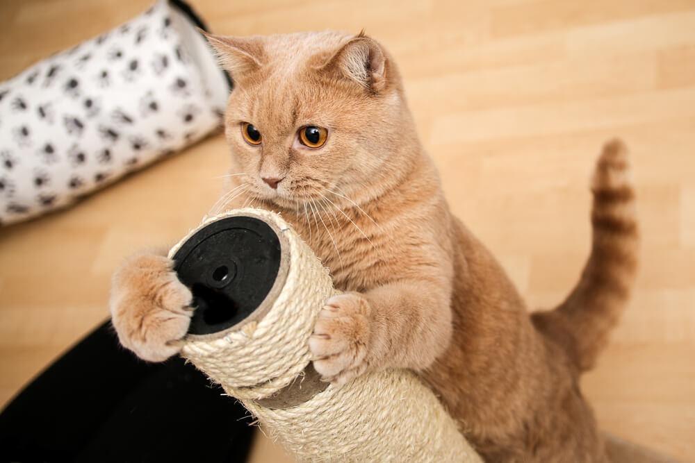 Gato amarelo com arranhador