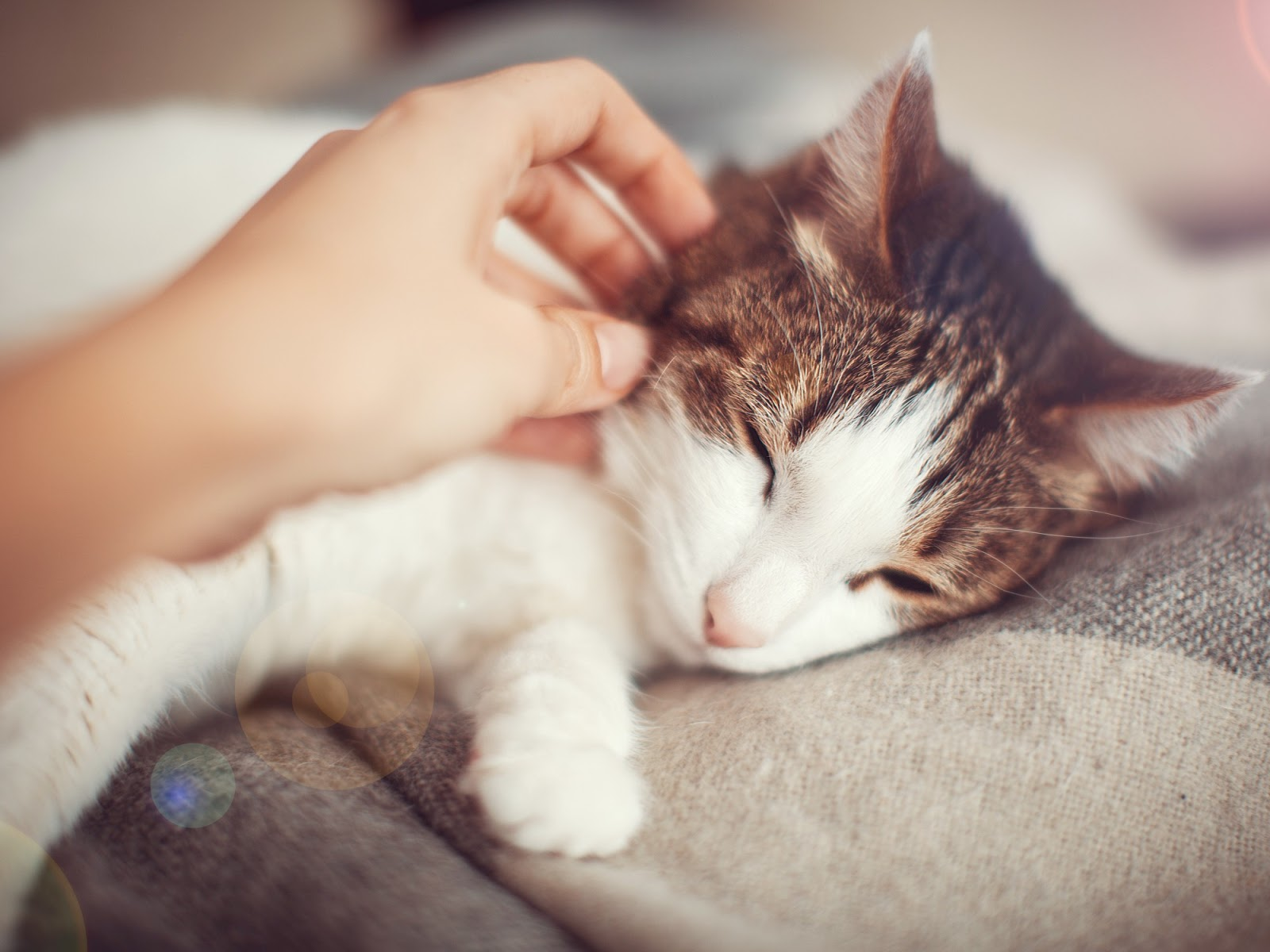 Katt som gillar att bli kelad på kinden