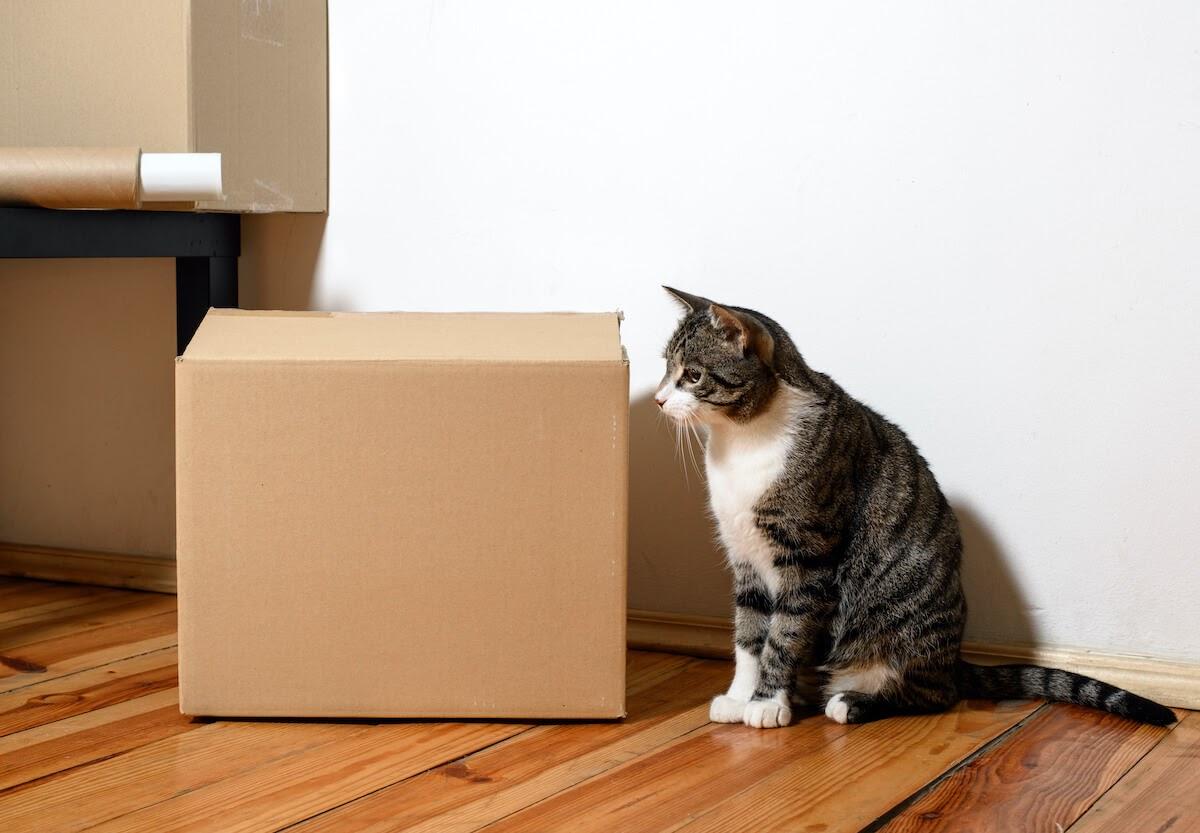 Cat Sit near a moving cardboard