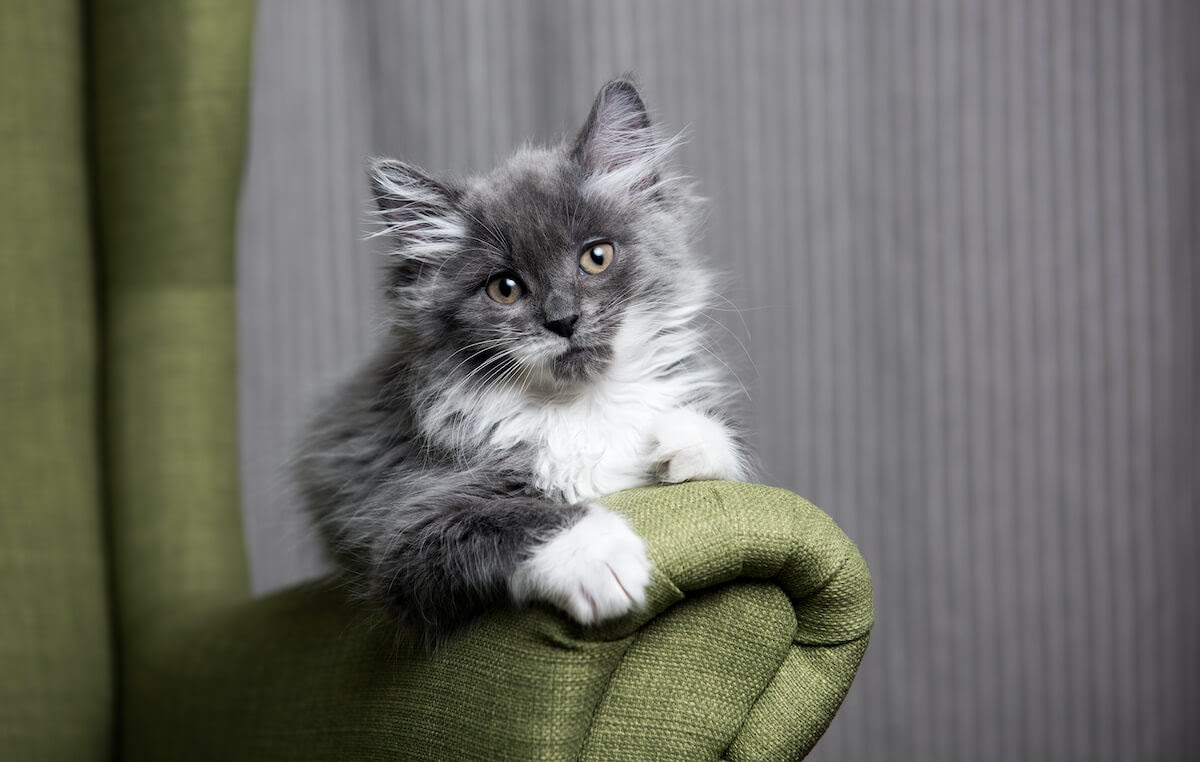 Grey Kitty on a armchair