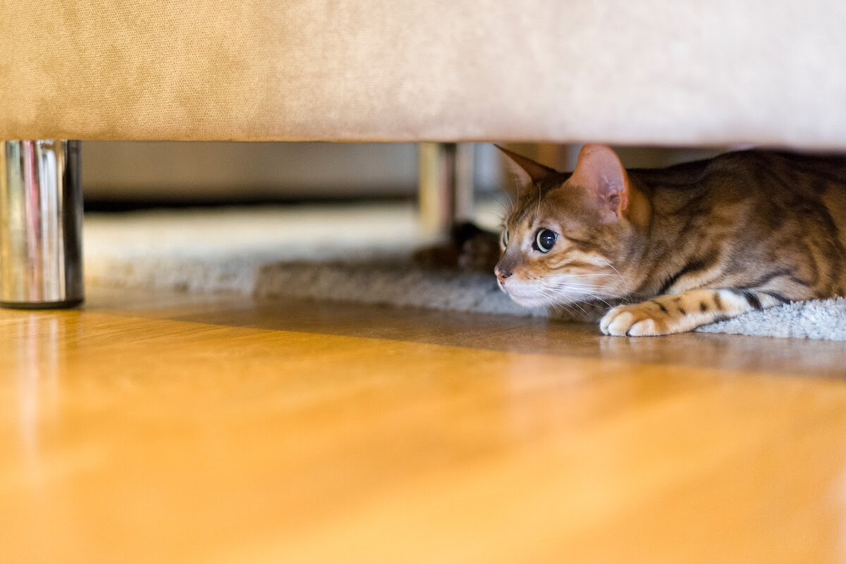 cat hidden under couch