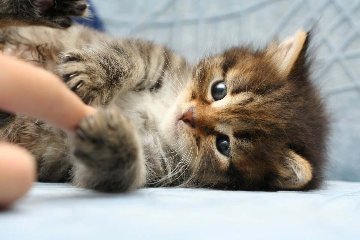 kitty playing with cat owner's hands