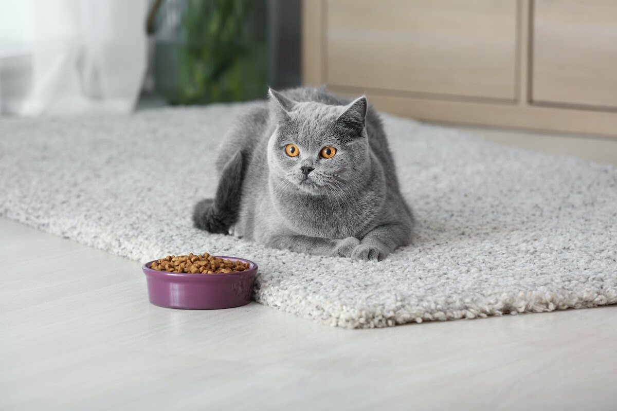 nice grey cat on carpet