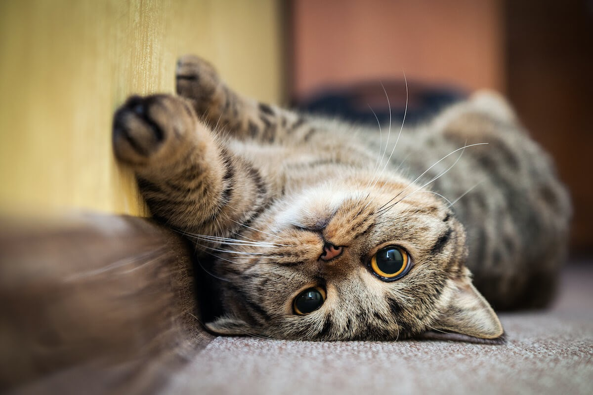 kitty laid back