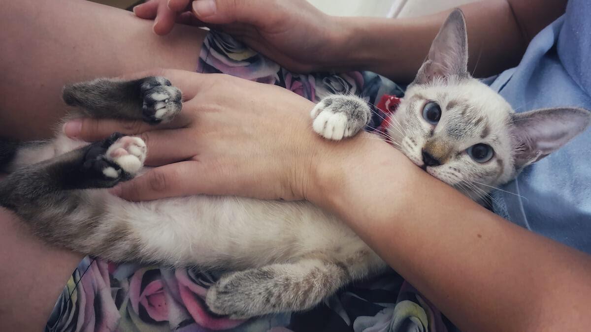 les chats pétrissent parce qu'ils se sentent bien
