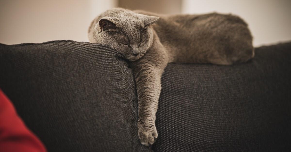sleeping grey cat breed