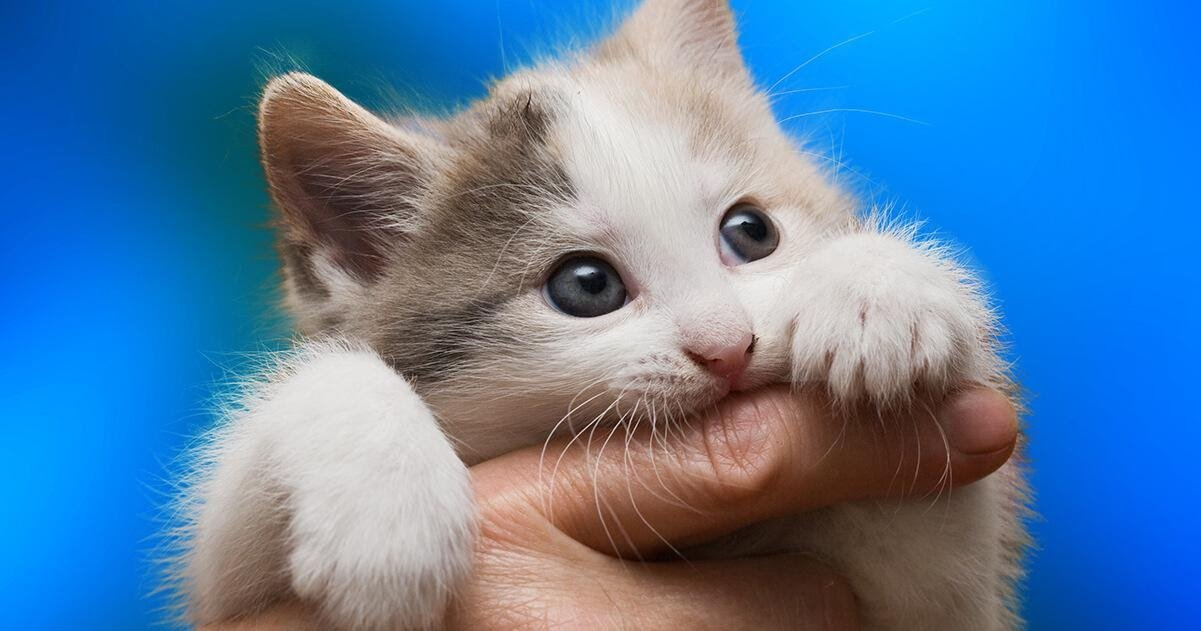 white kitty with blue eyes biting a man finger
