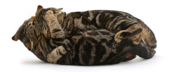 Συγκρούσεις μεταξύ γατών αυξάνουν το άγχος