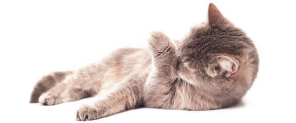 Η γάτα σας αυτοπεριποιείται υπερβολικά;