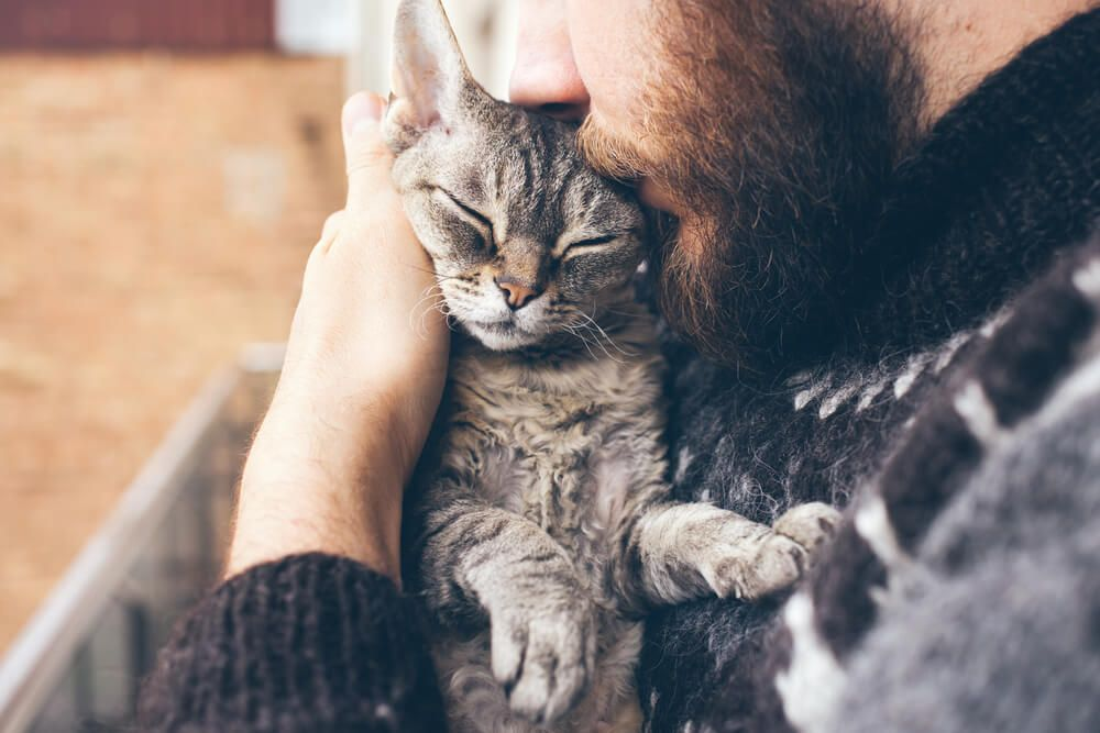 handling - Close-up of beard man in icelandic sweater who is holding and kissing his cute purring Devon Rex cat