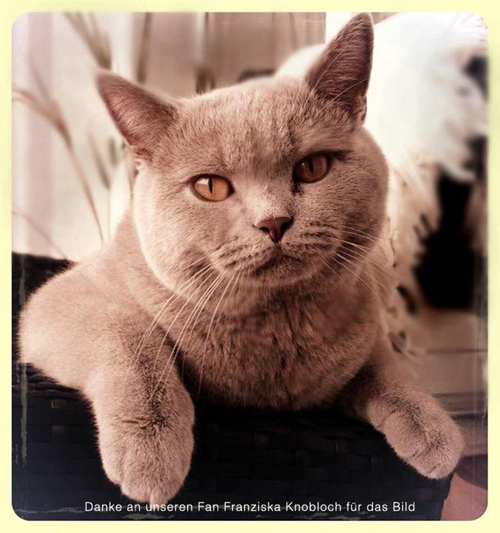Britisch Kurzhaar Charakter Katze
