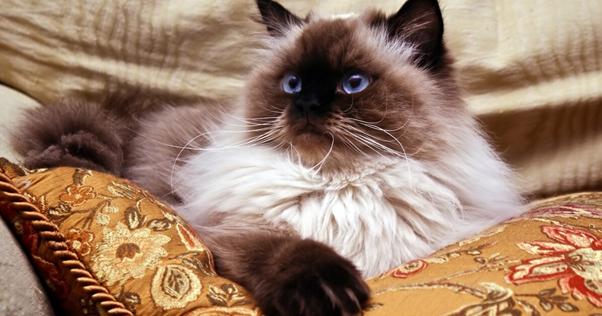 gato de raça