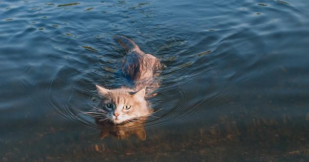 Gato nadando