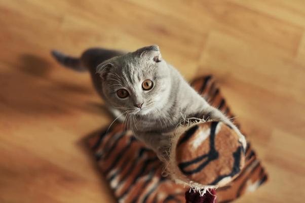 arranhadores gatos