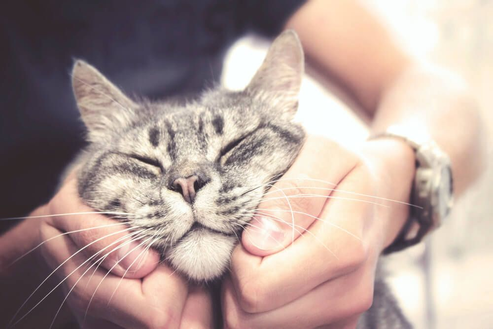 stroking-cat in human hands, pleased feline with vintage effect